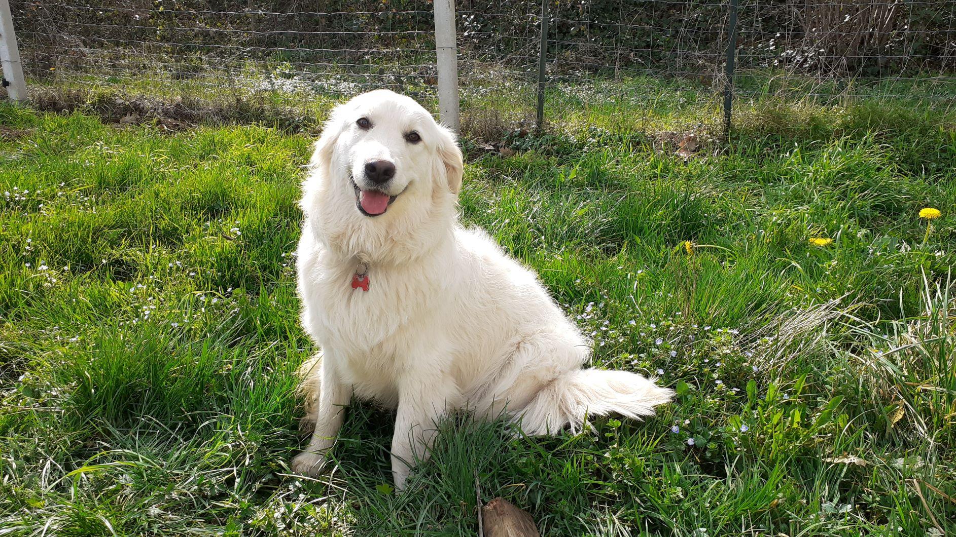 chienne type golden - cours éducation canine à domicile